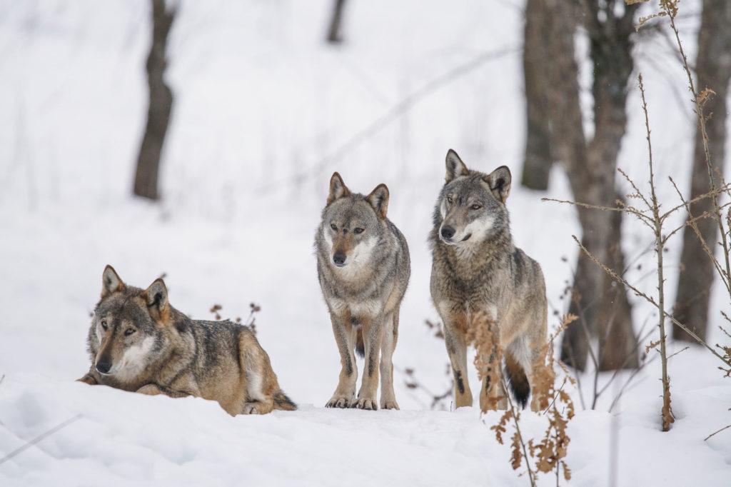 Štíhli vlci vzime